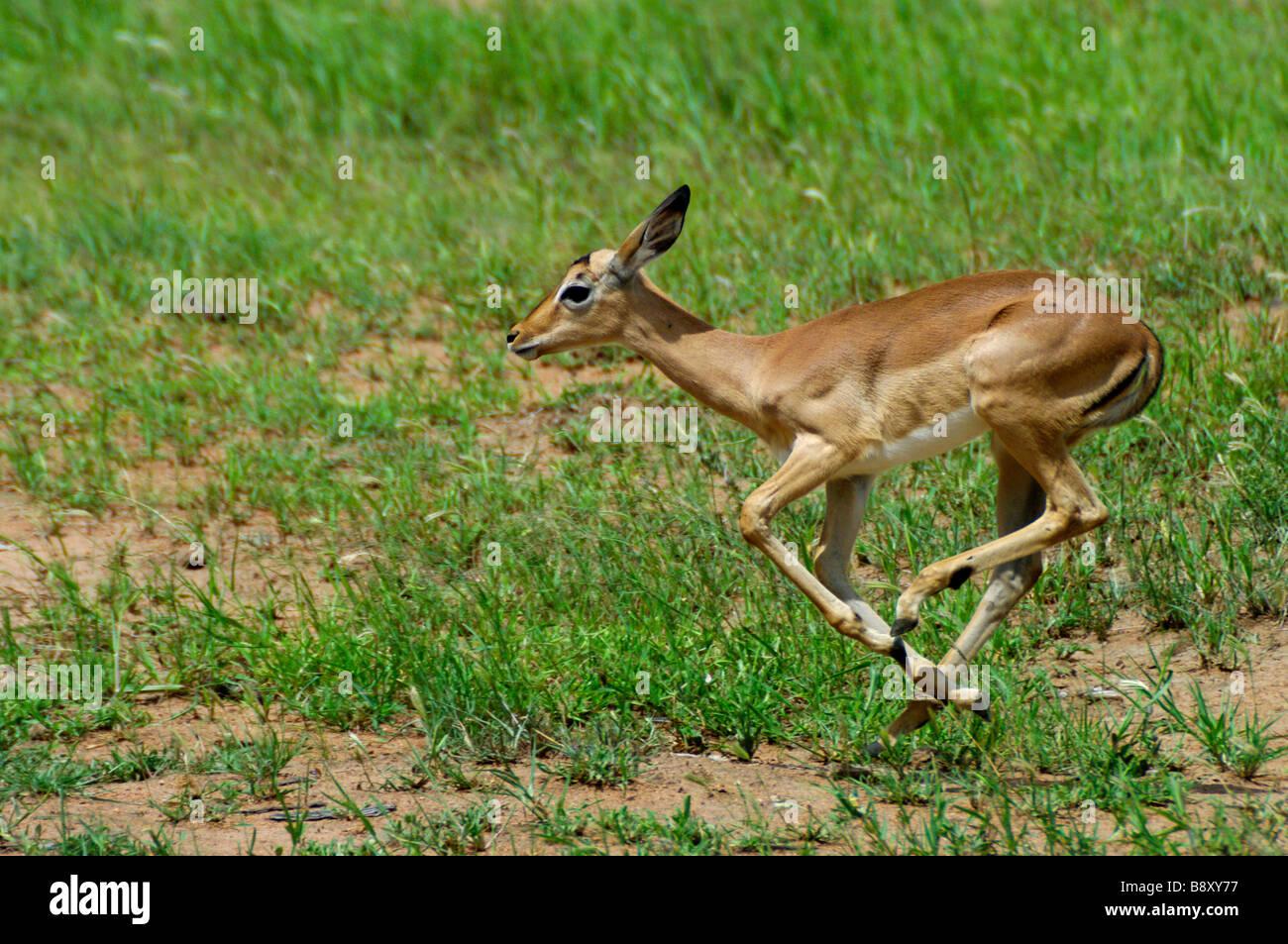 Impala ewe running away from a ram during mating season. - Stock Image