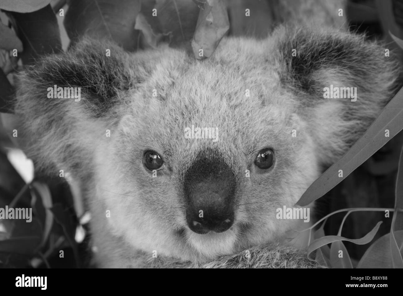A monochrome portrait of a Koala joey - Stock Image