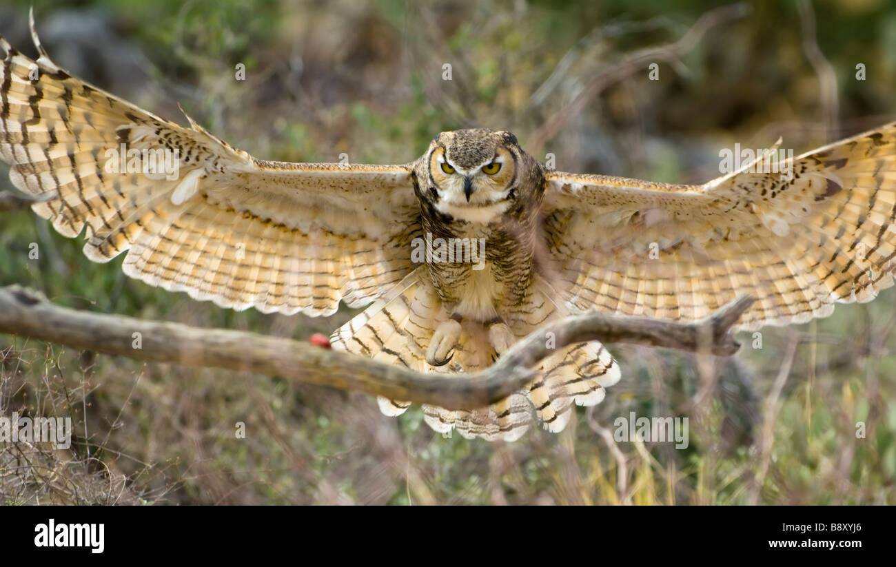 With Spread Wings A Great Horned Owl Is About To Land