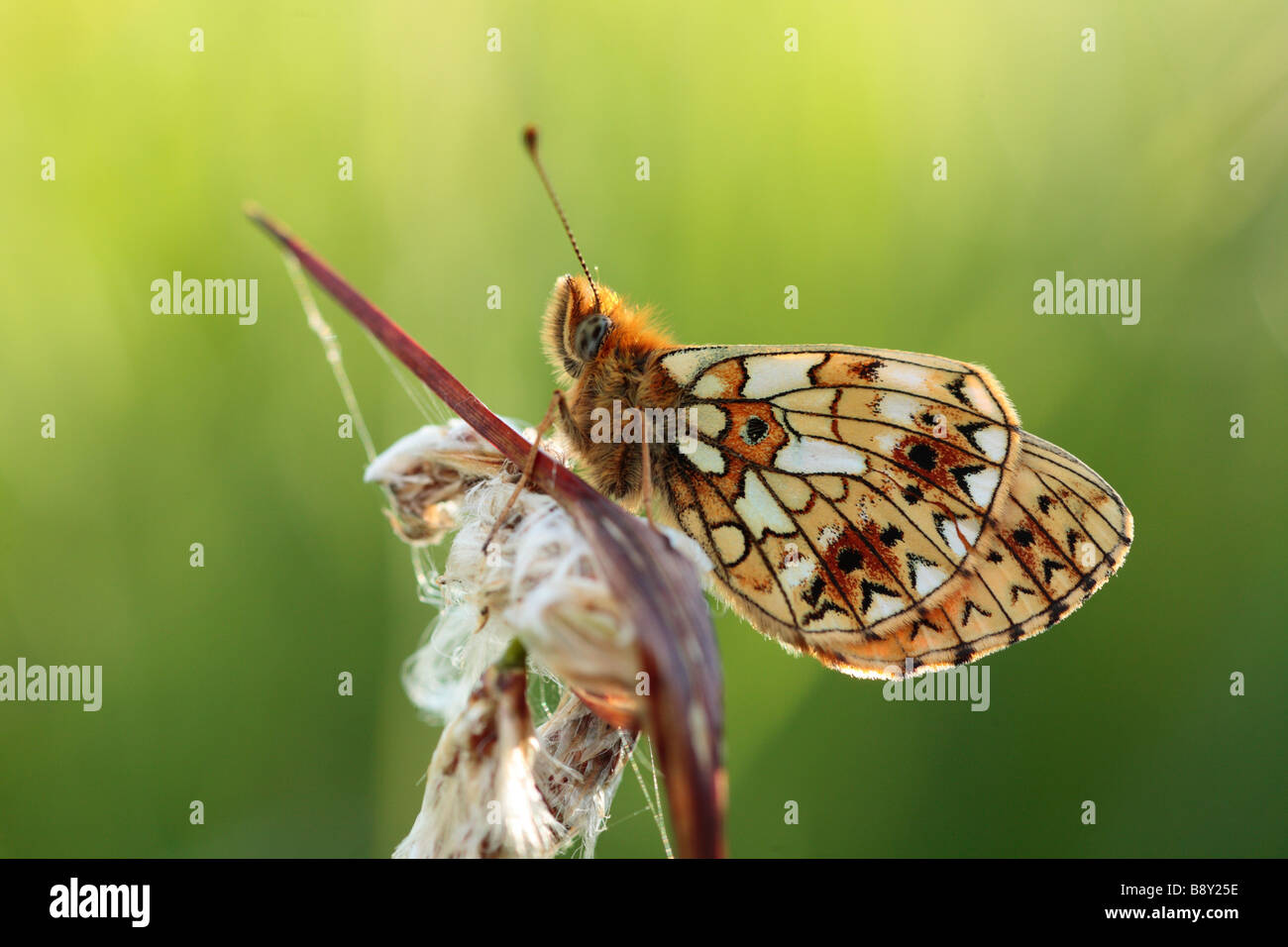 Small Pearl-bordered Fritillary Butterfly (Boloria selene).Roosting in the evening on a Cottongrass seedhead. Powys, - Stock Image