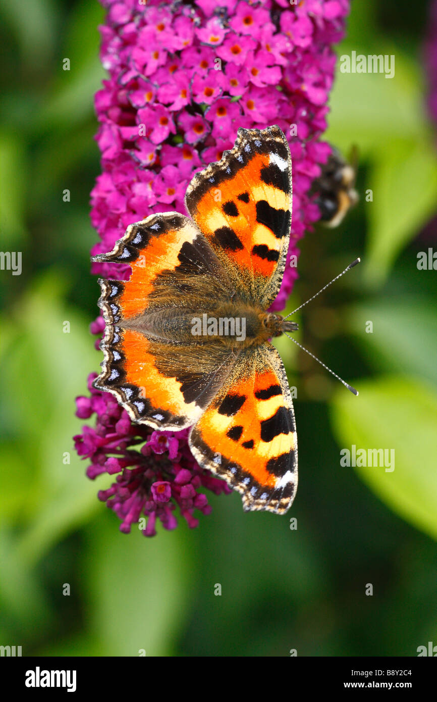 Small Tortoiseshell butterfly (Aglais urticae) feeding on Buddleia davidii 'Royal Red' in a garden. Powys, - Stock Image