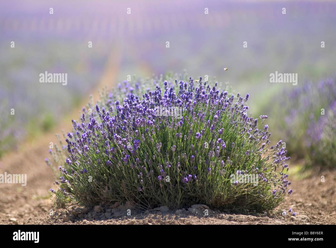 Close-up of lavenders bush, Utah, USA - Stock Image