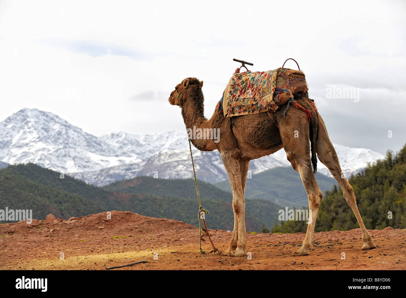 Dromedary contemplating the snowy mountains of the Atlas, Ourika Valley, Morocco - Stock Image