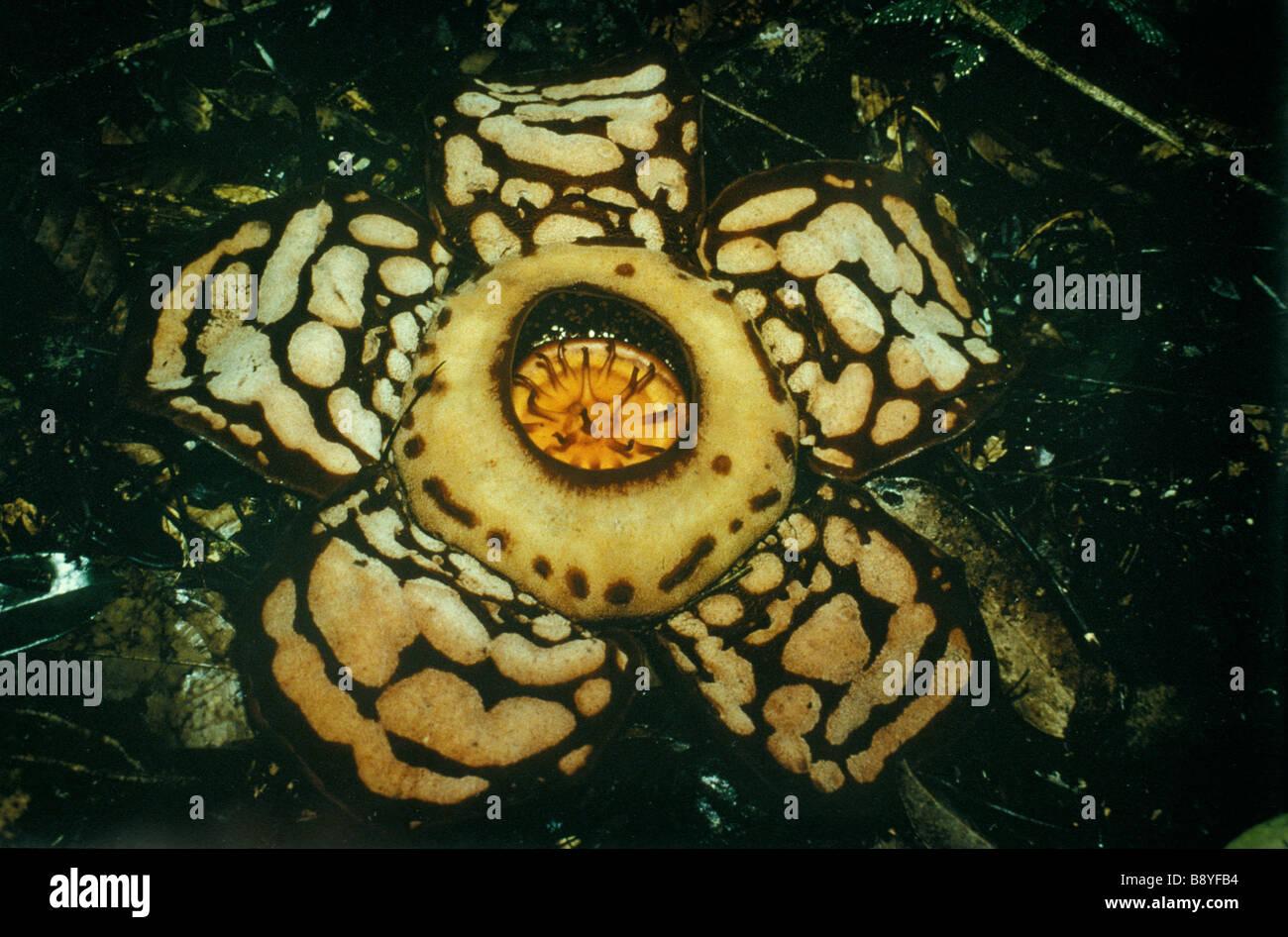 Rafflesia hasseltii Rafflesia est un genre de plante prasite de vigne du genre Ttitrastigma des régions tropicales - Stock Image