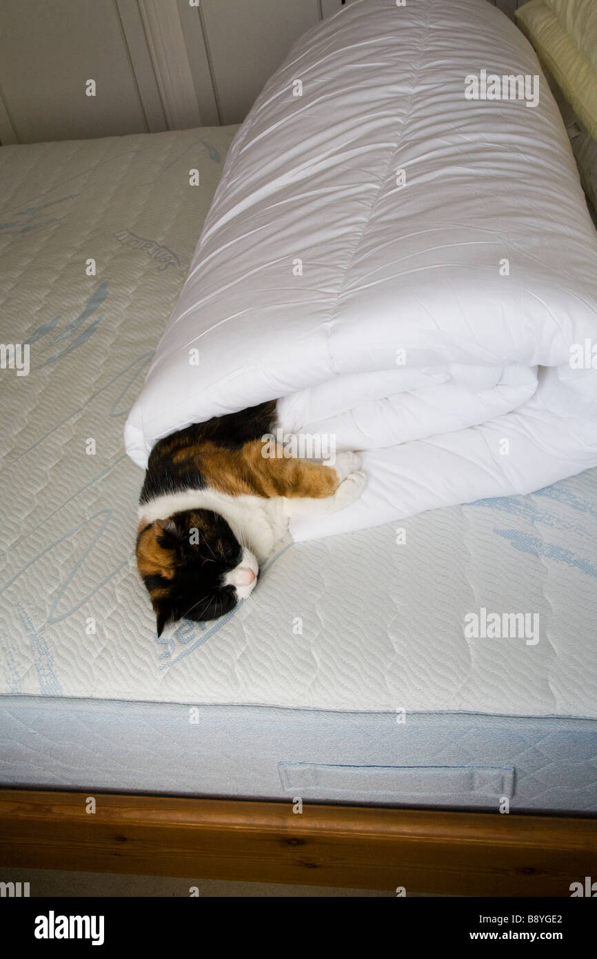 A DOMESTIC CAT SLEEPING IN A ROLLED UP DUVET ON A BED IN THE BEDROOM - Stock Image