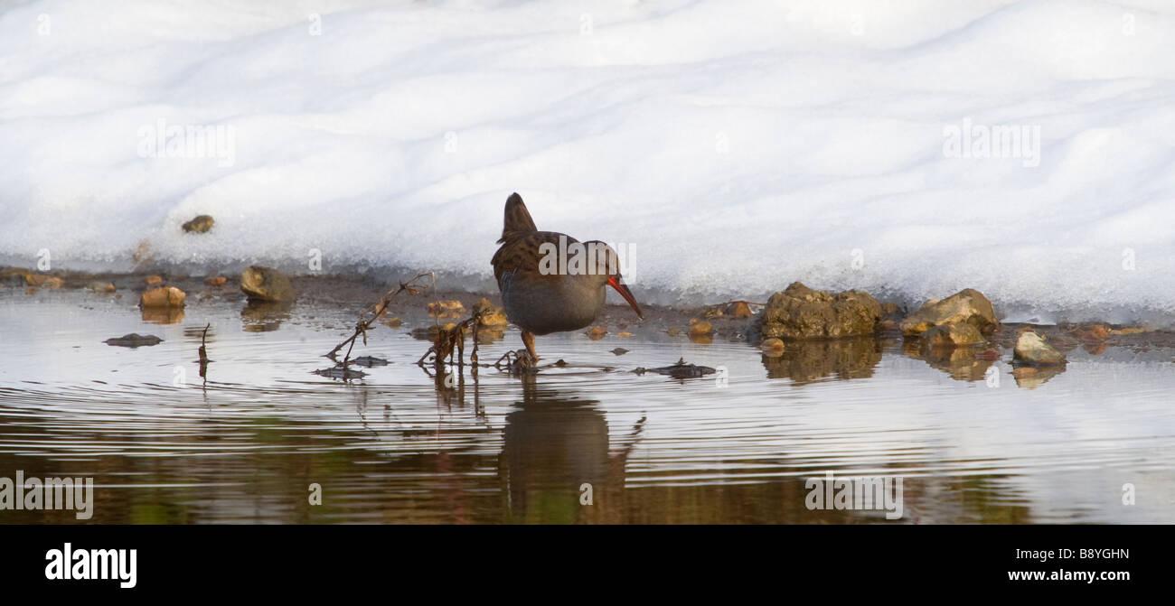 Water Rail Rallus aquaticus in winter - Stock Image