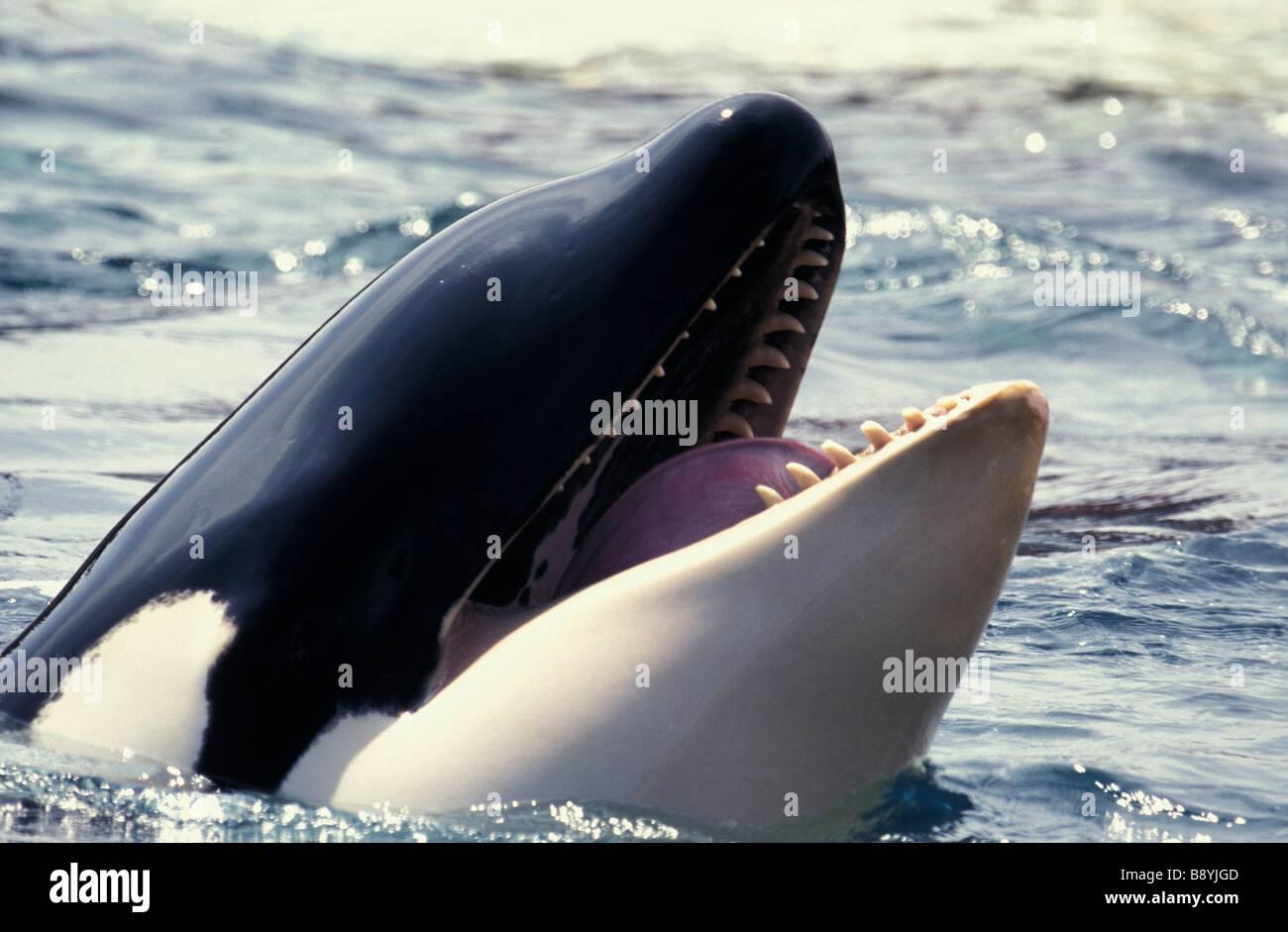 Orque ENDANGERED SPECIES CANADA British Columbia Orca Of Killer Whale Stock Photo: 22734893