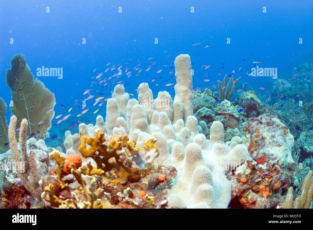 Coral reef in the waters of the Caribbean isle Tortola in the British Virgin Islands - Stock Image