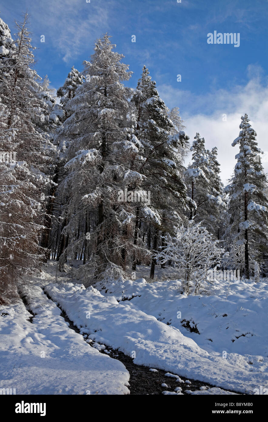 Snow covered conifer trees with a brook running downhill, Breadalbane, Scottish Highlands, Scotland, UK, Europe - Stock Image