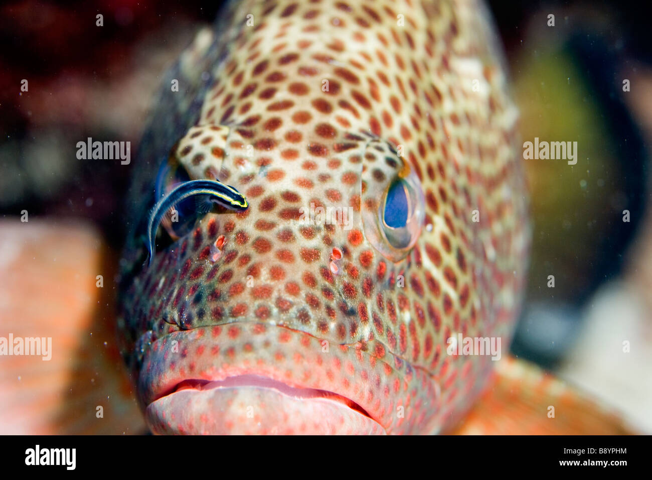 Cleaner Fish and a Grouper the waters of the Caribbean isle Tortola in the British Virgin Islands - Stock Image