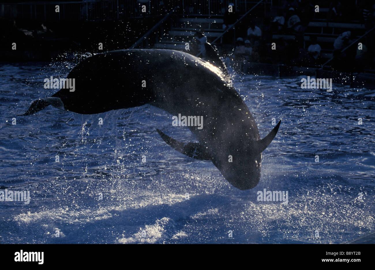 globicephalePilotwal Kurzflossen Grindwal Short finned Pilot Whale Globicephala macrorhynchus Globicephala seiboldii - Stock Image
