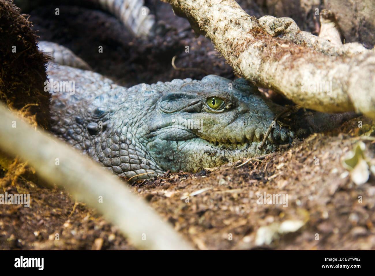 Crocodile eeye hidden - Stock Image