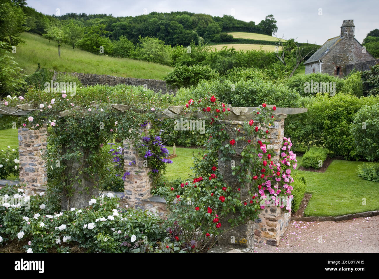 Roses Scrambling Over The Pergola In Rose Garden Created 1950s At Compton Castle
