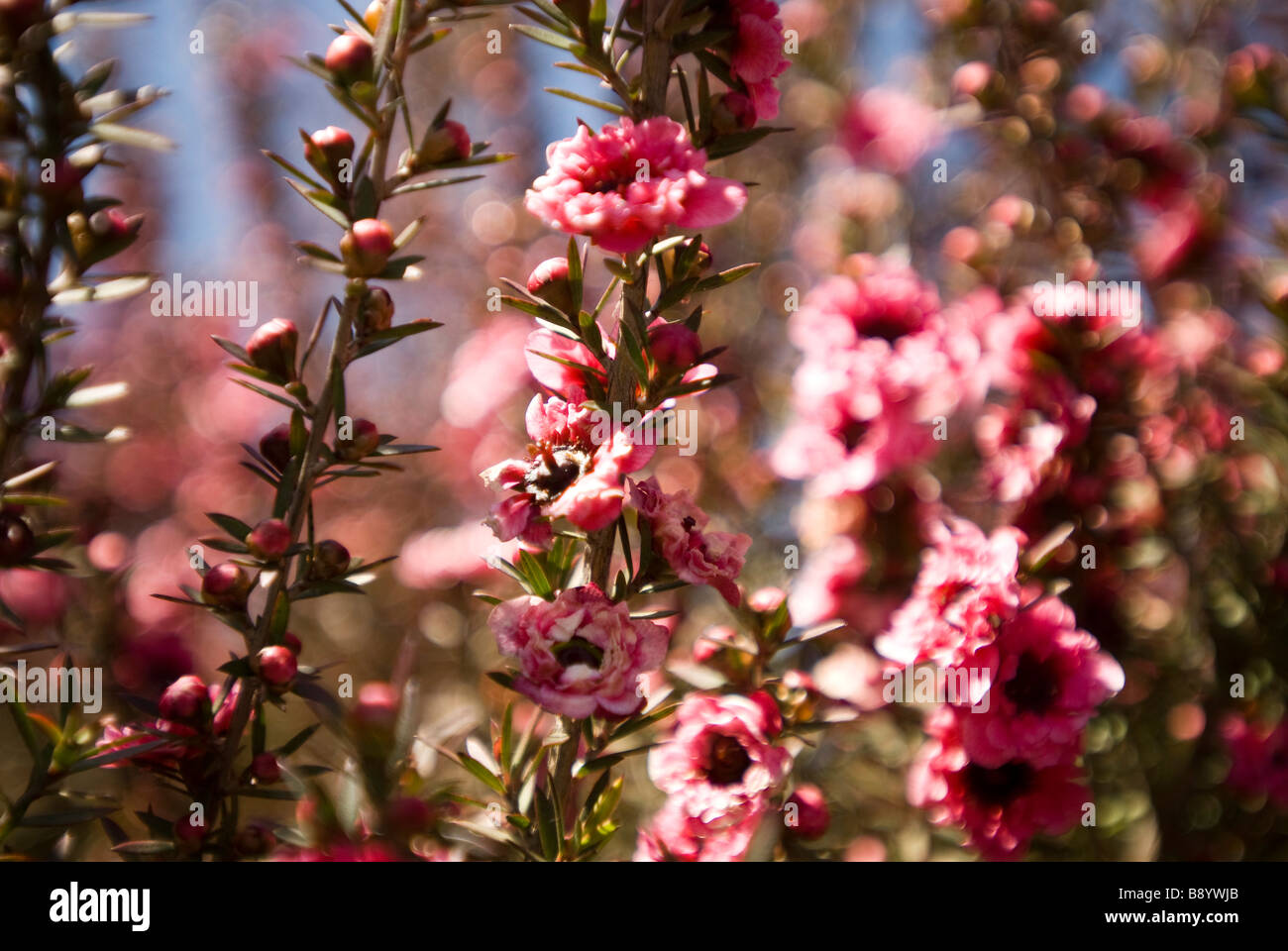 Pink flowers in california - Stock Image