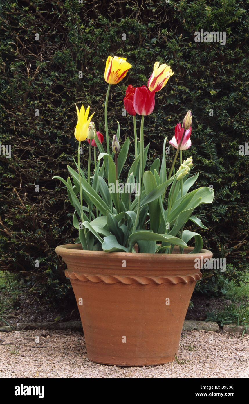 View of a hand thrown terracotta pot with early varieties of tulips - Stock Image