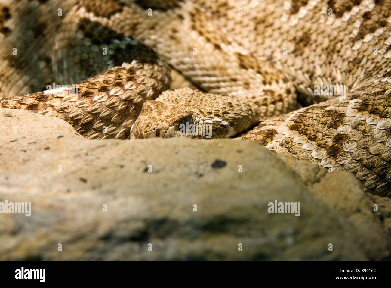Diamond Back Rattle Snake Stock Photo