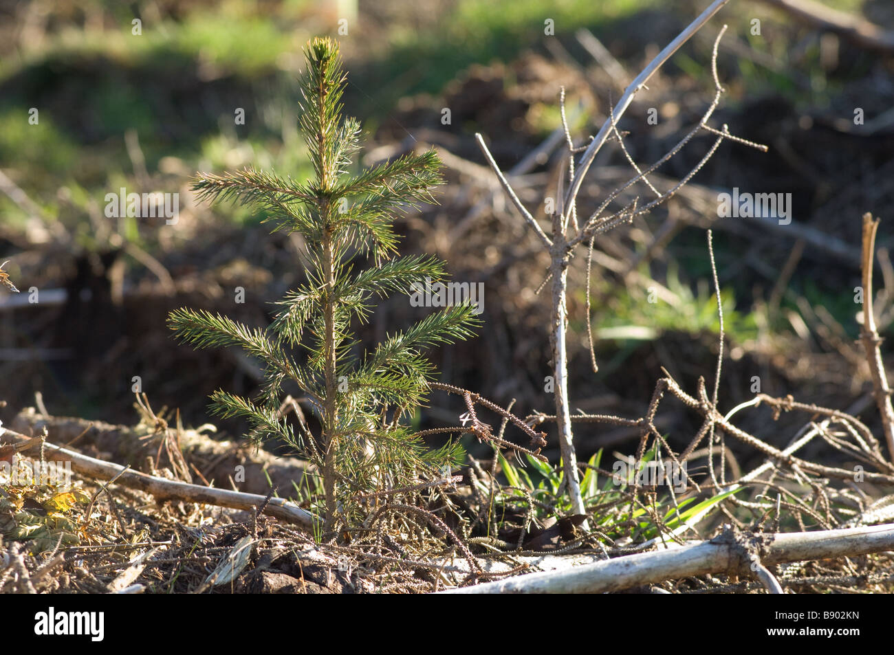 Close up of young Norway spruce (Picea abies) in forestry plantation, North Yorkshire, UK - Stock Image