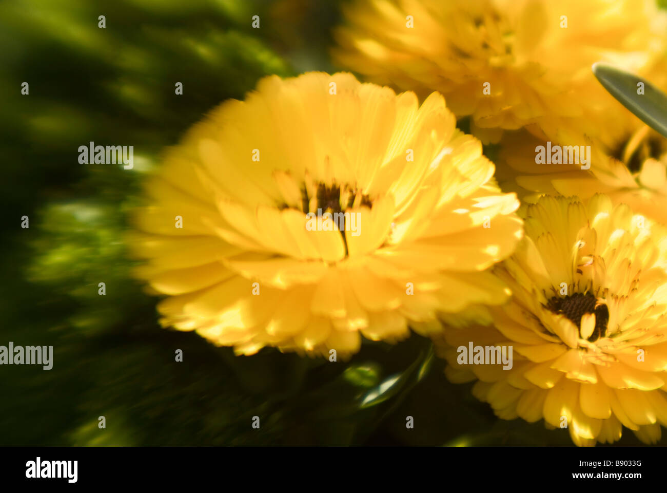 Yellow flower with brown center stock photos yellow flower with three yellow flowers stock image mightylinksfo