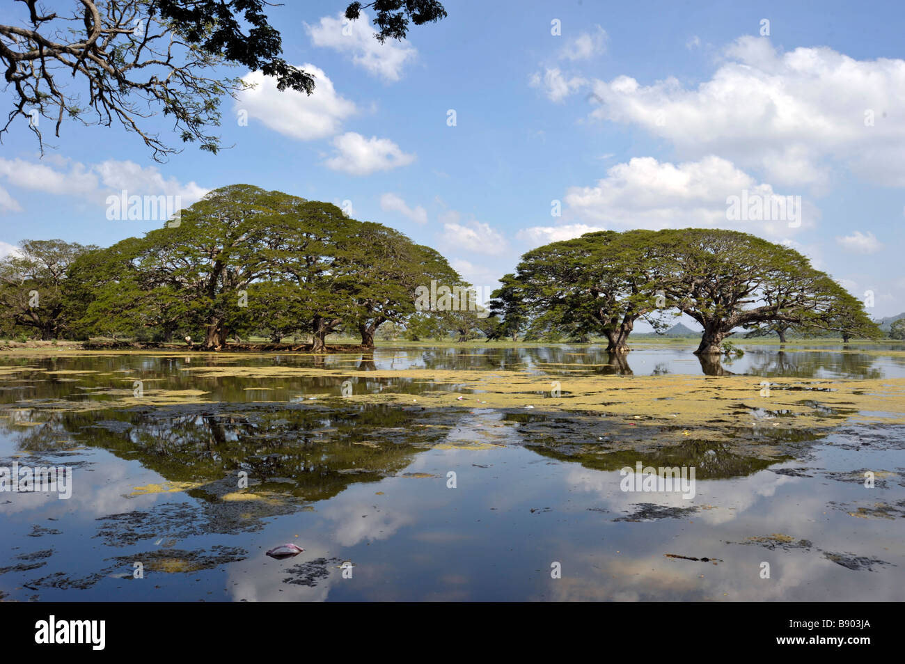 Trees reflection in littered  Tissamaharama lake sri lanka - Stock Image