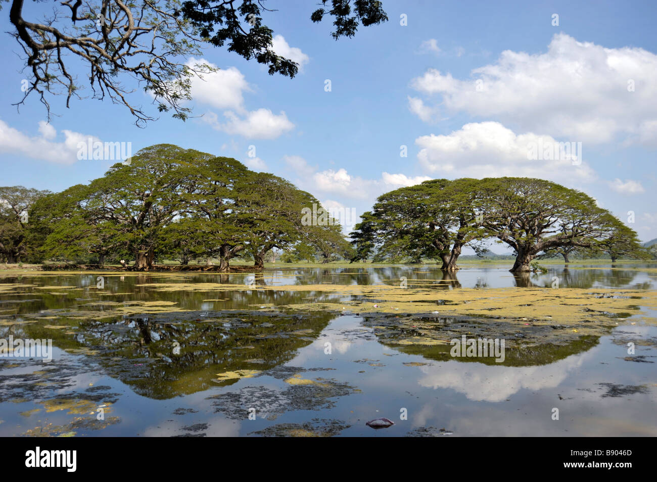 Tree reflection in littered Tissamaharama lake Sri Lanka - Stock Image