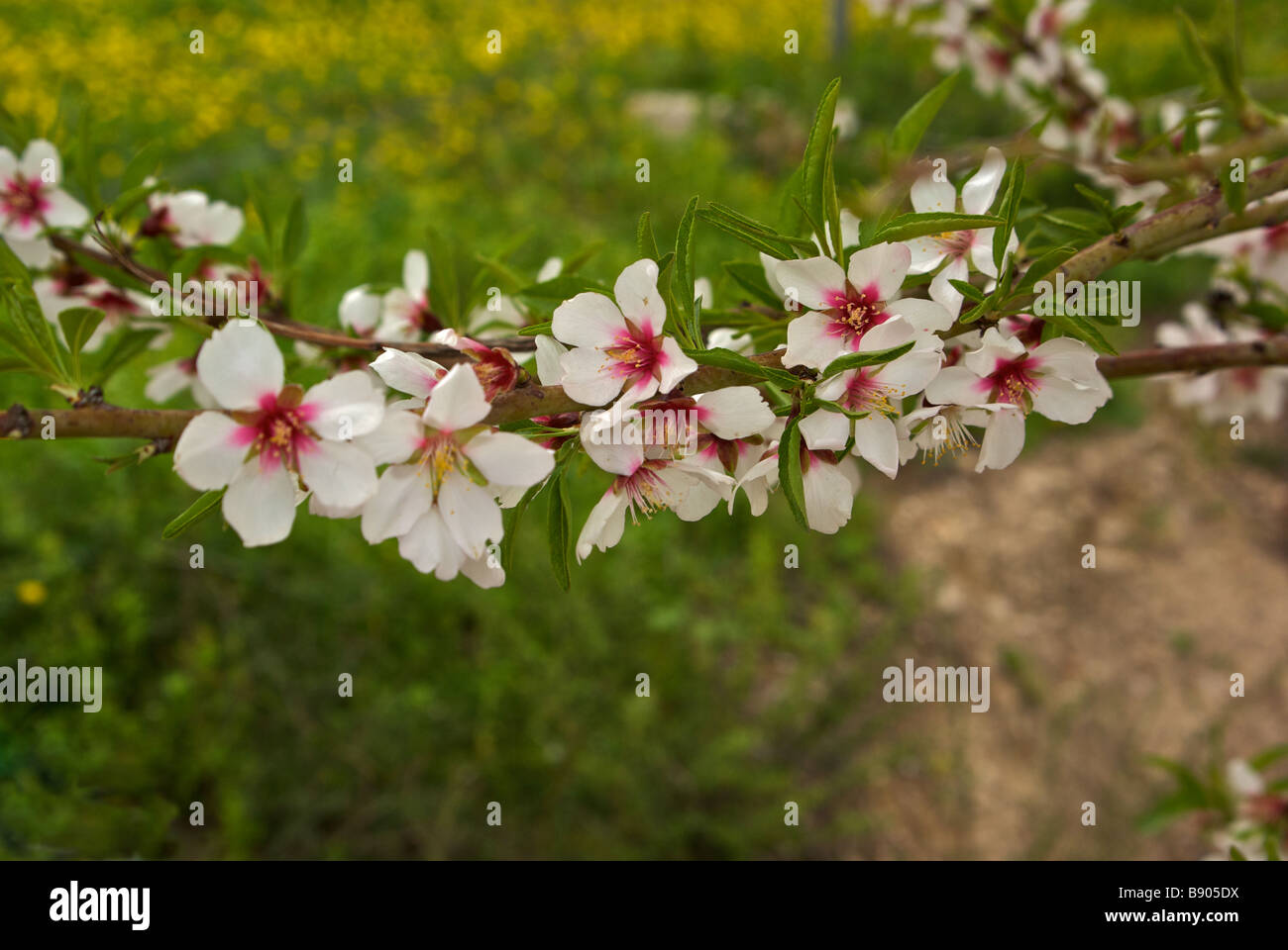 Beautiful white crimsom centred almond tree blossoms Zippori or Sepphoris - Stock Image