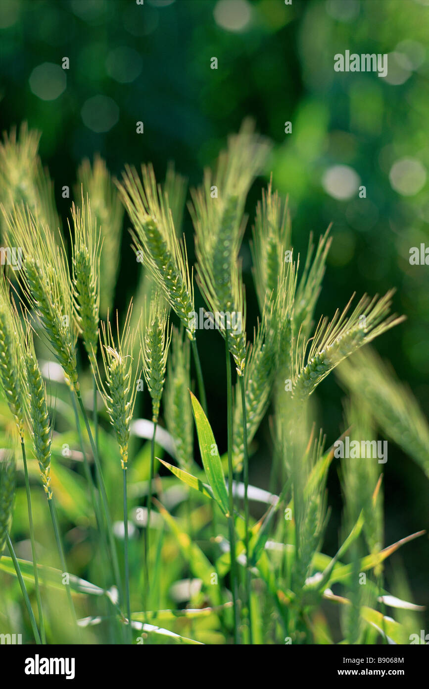 Wheat crop ready for harvest - Stock Image