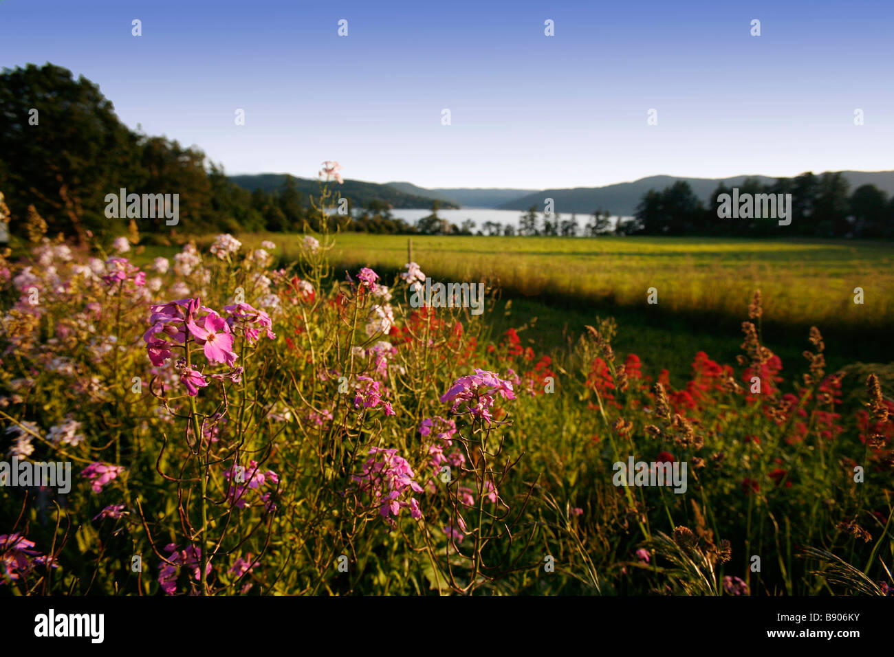 Flowers in bloom next to a field and ocean view. - Stock Image