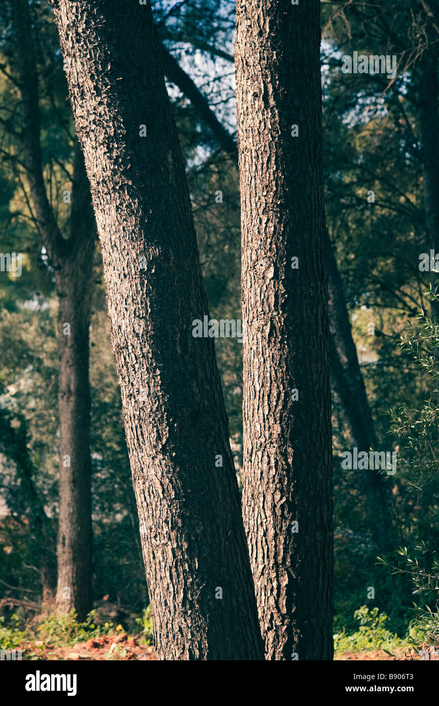 Two trees leaning in different directions - Stock Image