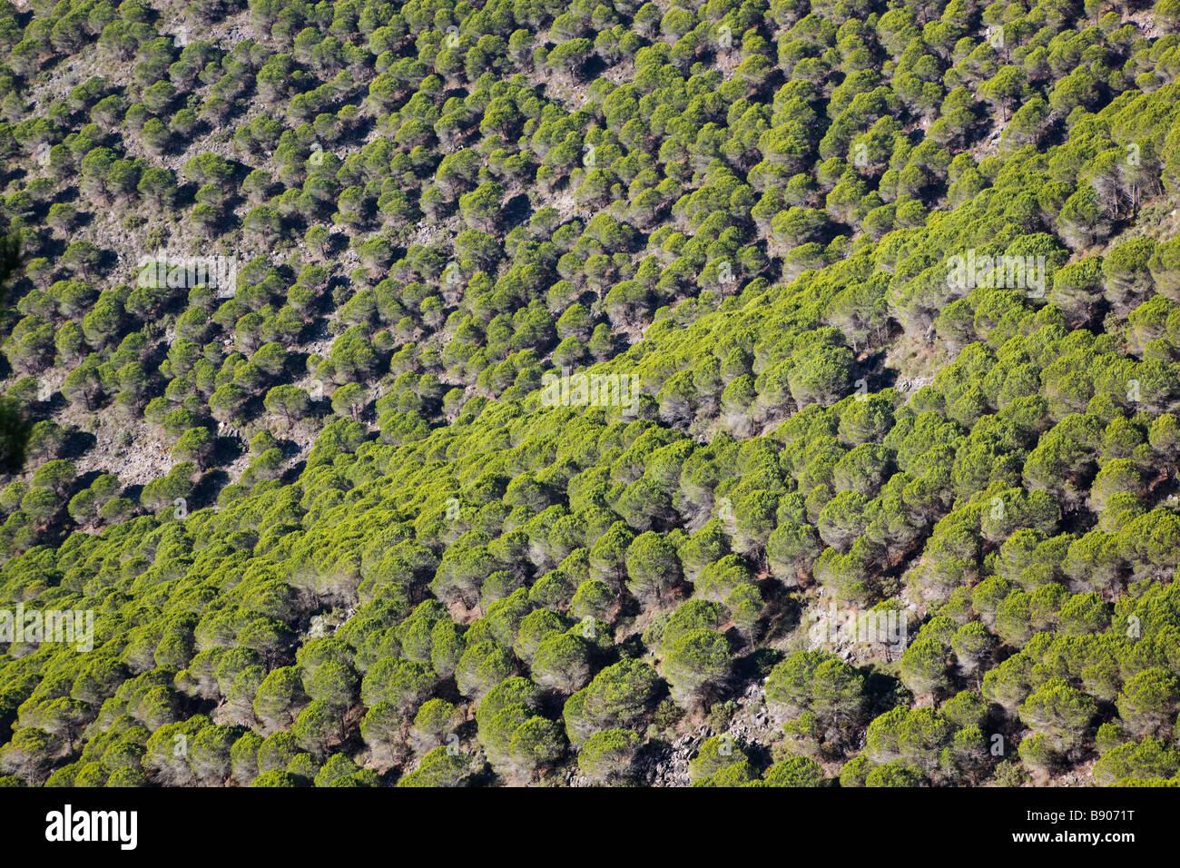 Hillside with plantations of Mediterranean pines near Fuengirola Malaga Province Costa del Sol Spain - Stock Image