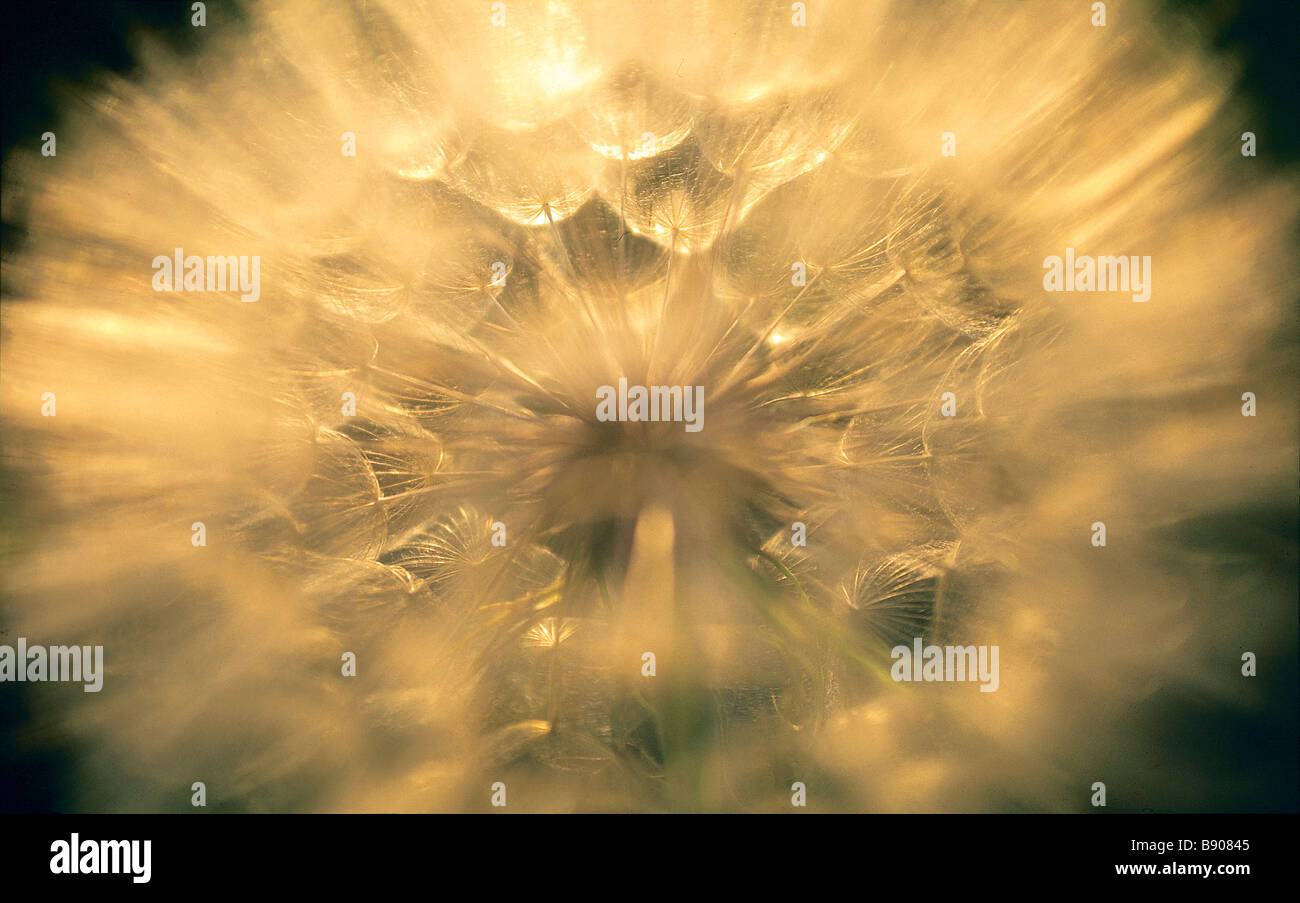 FL0427, B D Productions; Dandelion Seeds - Stock Image