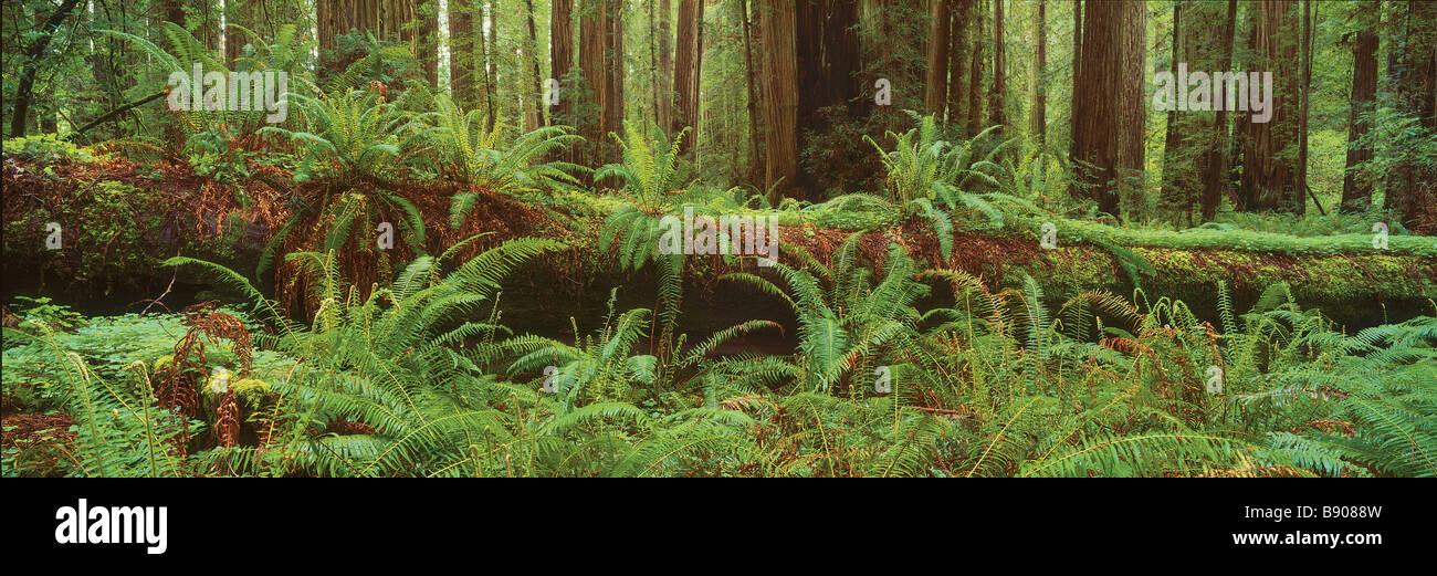 FL0471, R Watts; Jedediah Smith Redwoods State Pk,CA - Stock Image