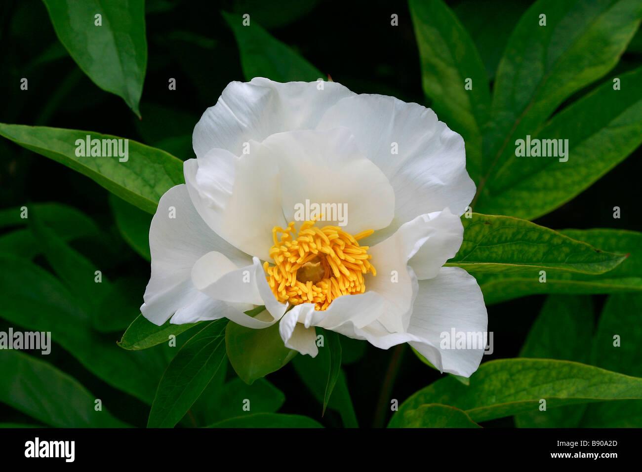 Paeonia emodi - Stock Image