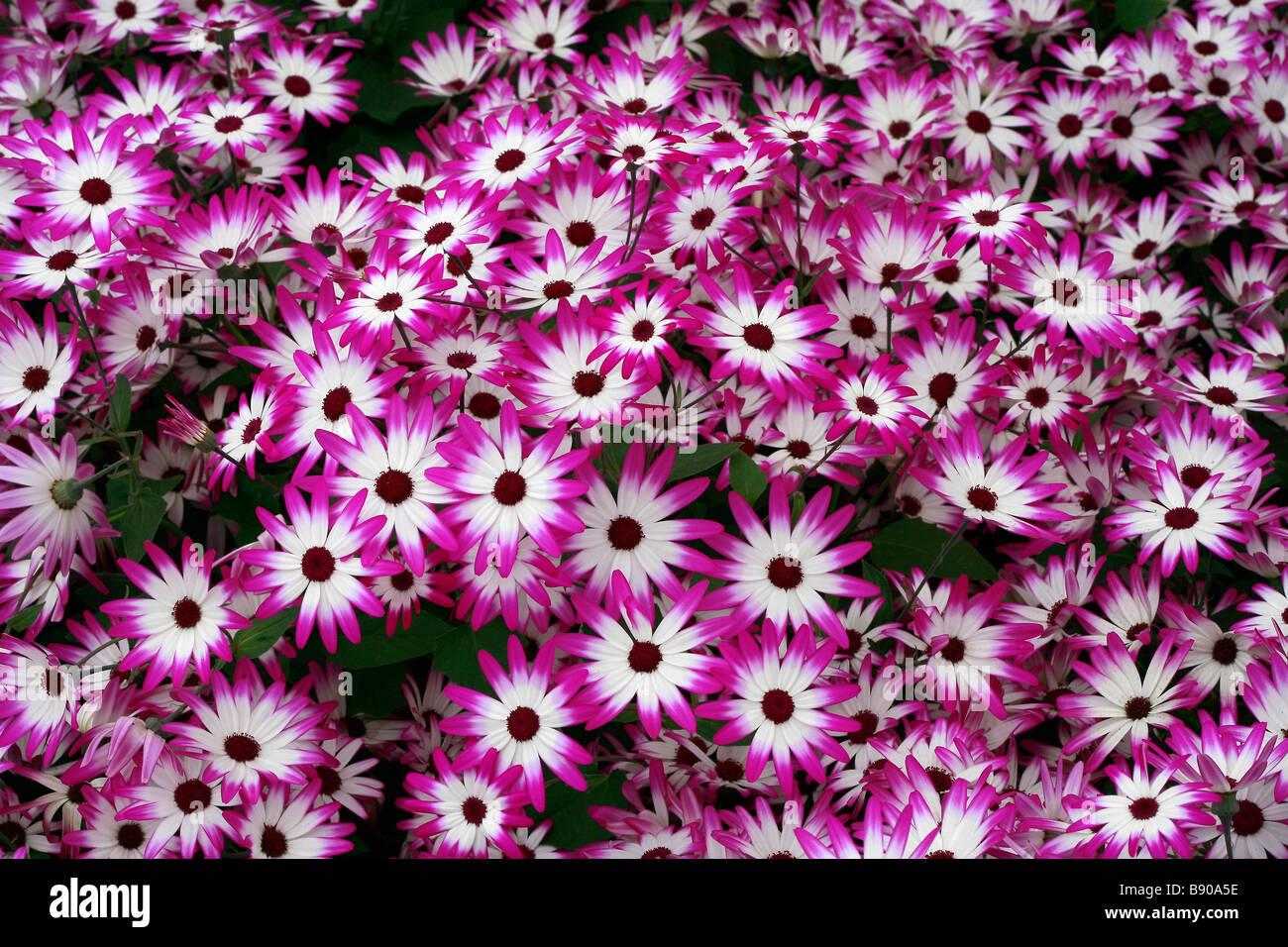 Pericallis hybrida Senetti - Stock Image