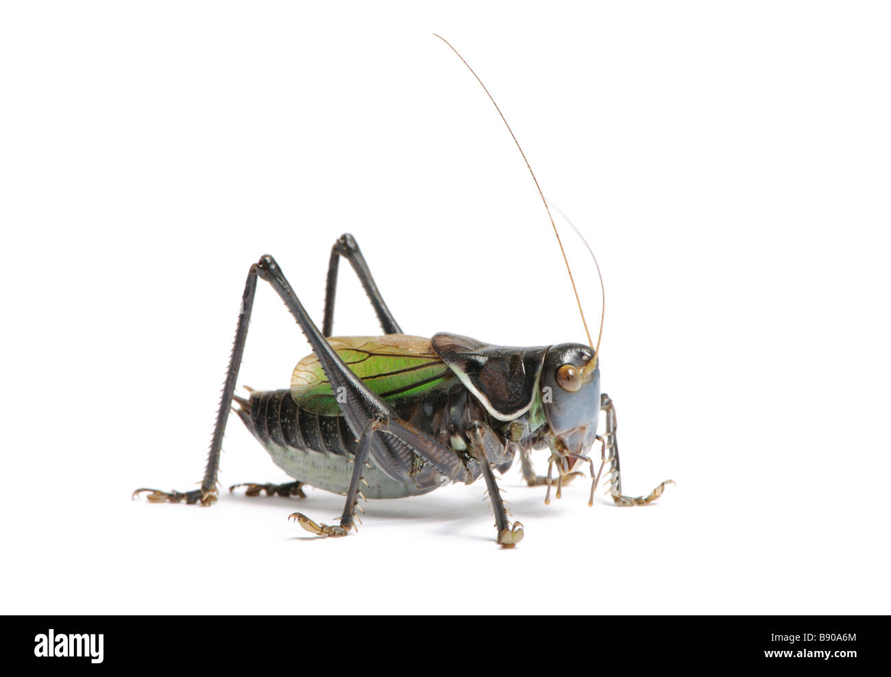Grasshopper Gampsocleis gratiosa in front of a white background - Stock Image