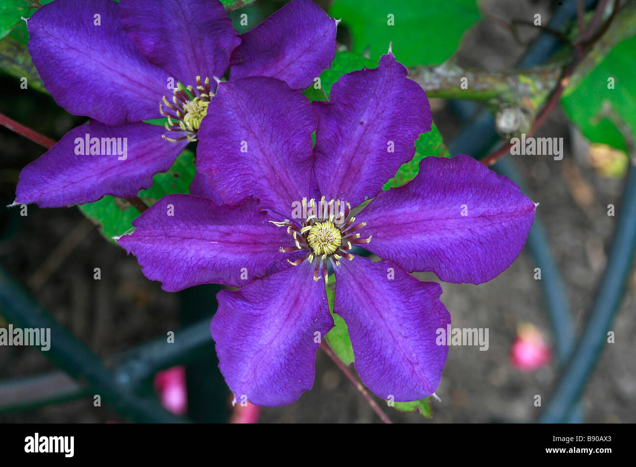 Clematis 'Royalty' - Stock Image