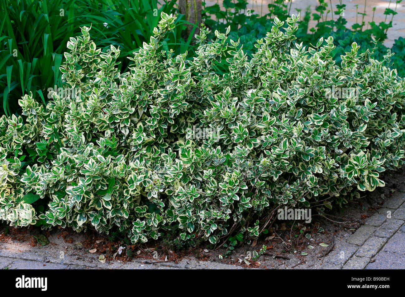euonymus fortunei emerald gaiety stock photo 22751305 alamy. Black Bedroom Furniture Sets. Home Design Ideas