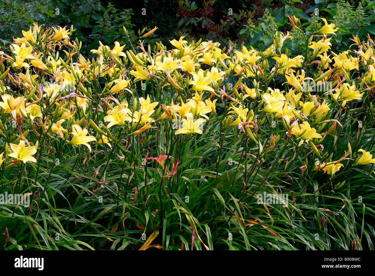Hemerocallis Marion Vaughn - Stock Image