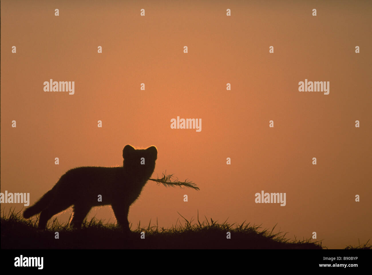 FL1100, BD Productions; Silhouette Wild Animal - Stock Image