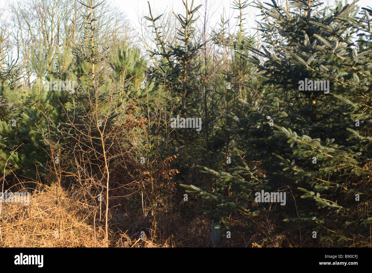 Young sitka spruce and corsican pine in softwood forestry plantation, North Yorkshire, UK - Stock Image
