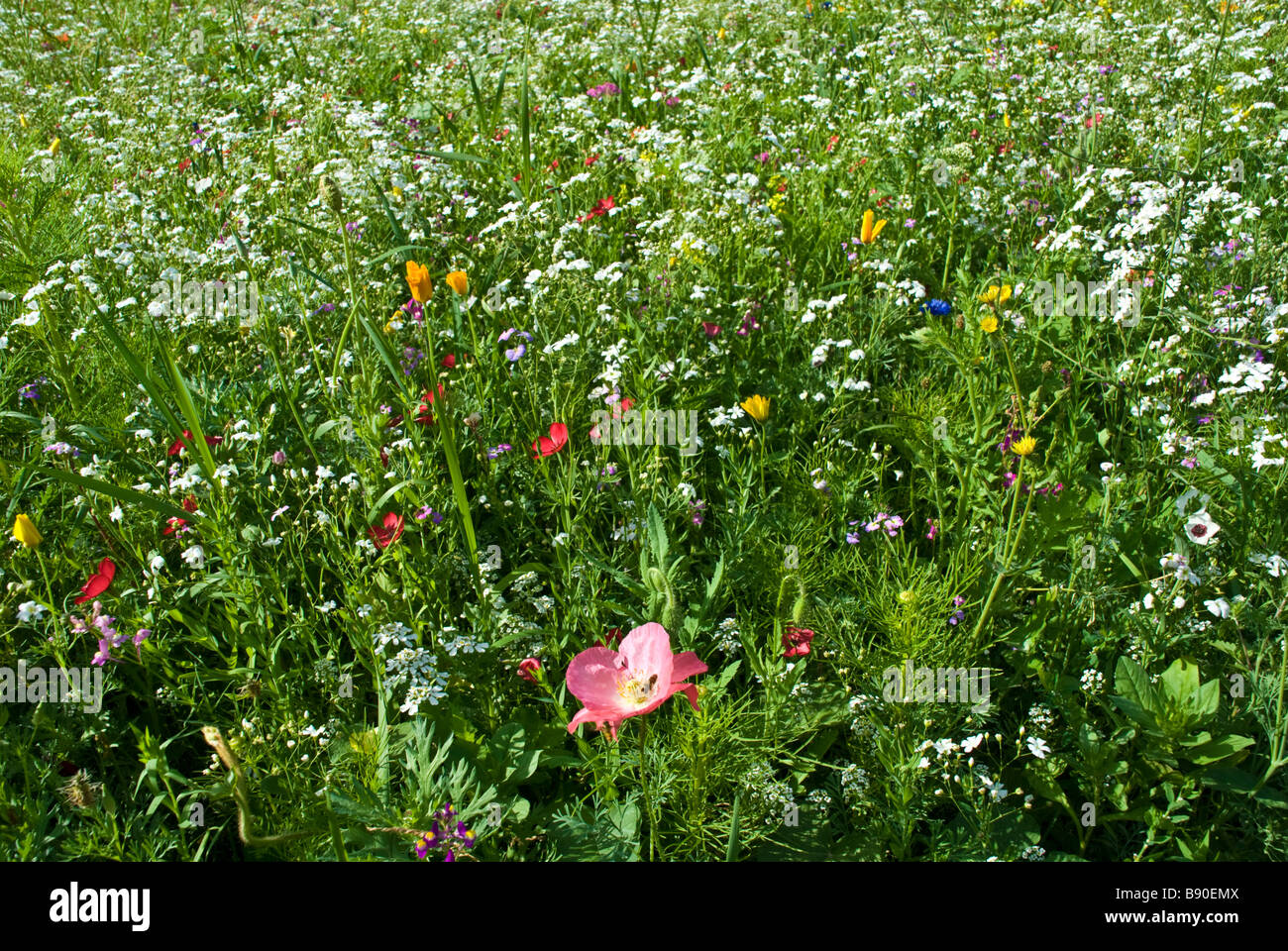 Meadow with colorful flowers like cornflowers and herbs | Wiese mit farbenfrohen Blumen und Kräutern - Stock Image