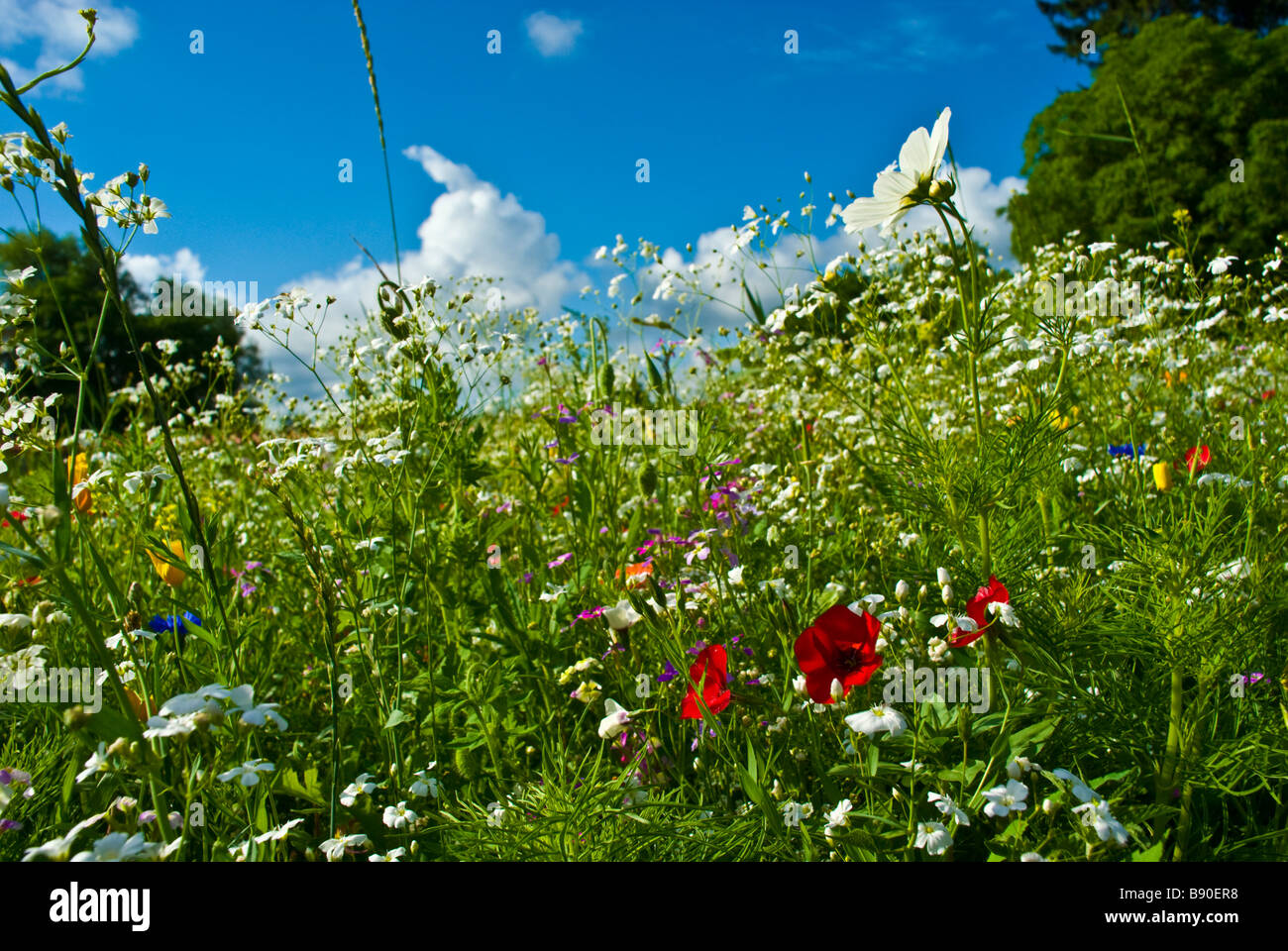 Meadow with colorful flowers like cornflowers herbs and blue sky clouds and trees | Wiese mit farbenfrohen Blumen - Stock Image