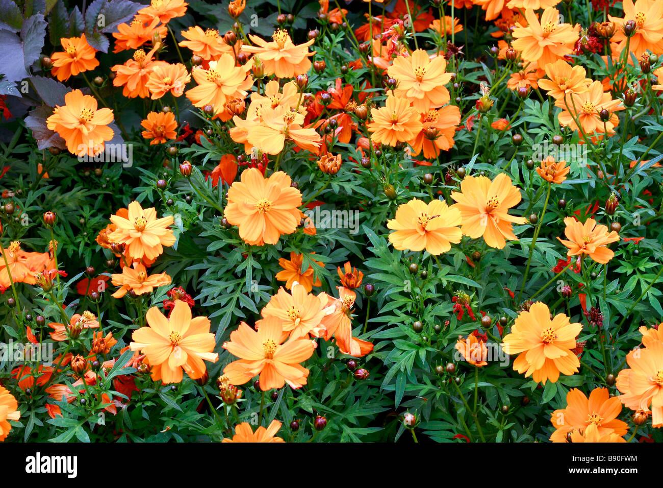 Cosmos sulphureus Cosmic Orange - Stock Image