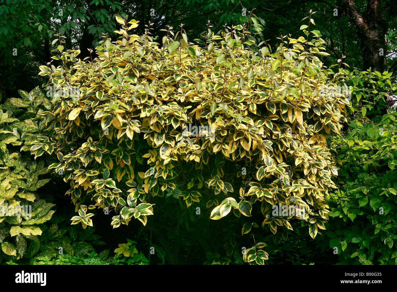 Elaeagnus ebbingei Gilt Edge - Stock Image