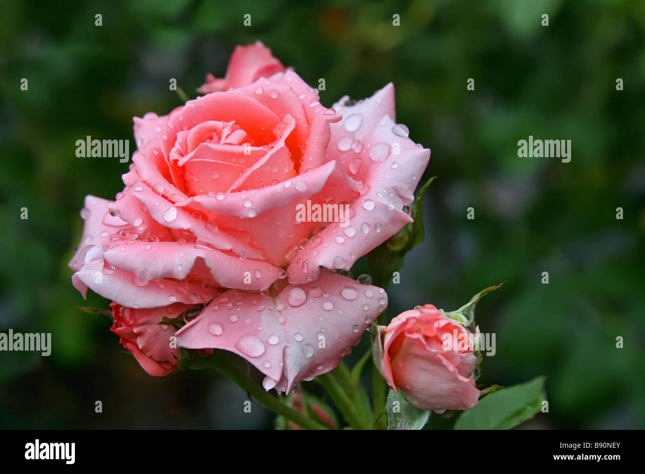 Single Red Rose Flower Stock Images: Beautiful Single Pink Rose In A Flower Garden Just After