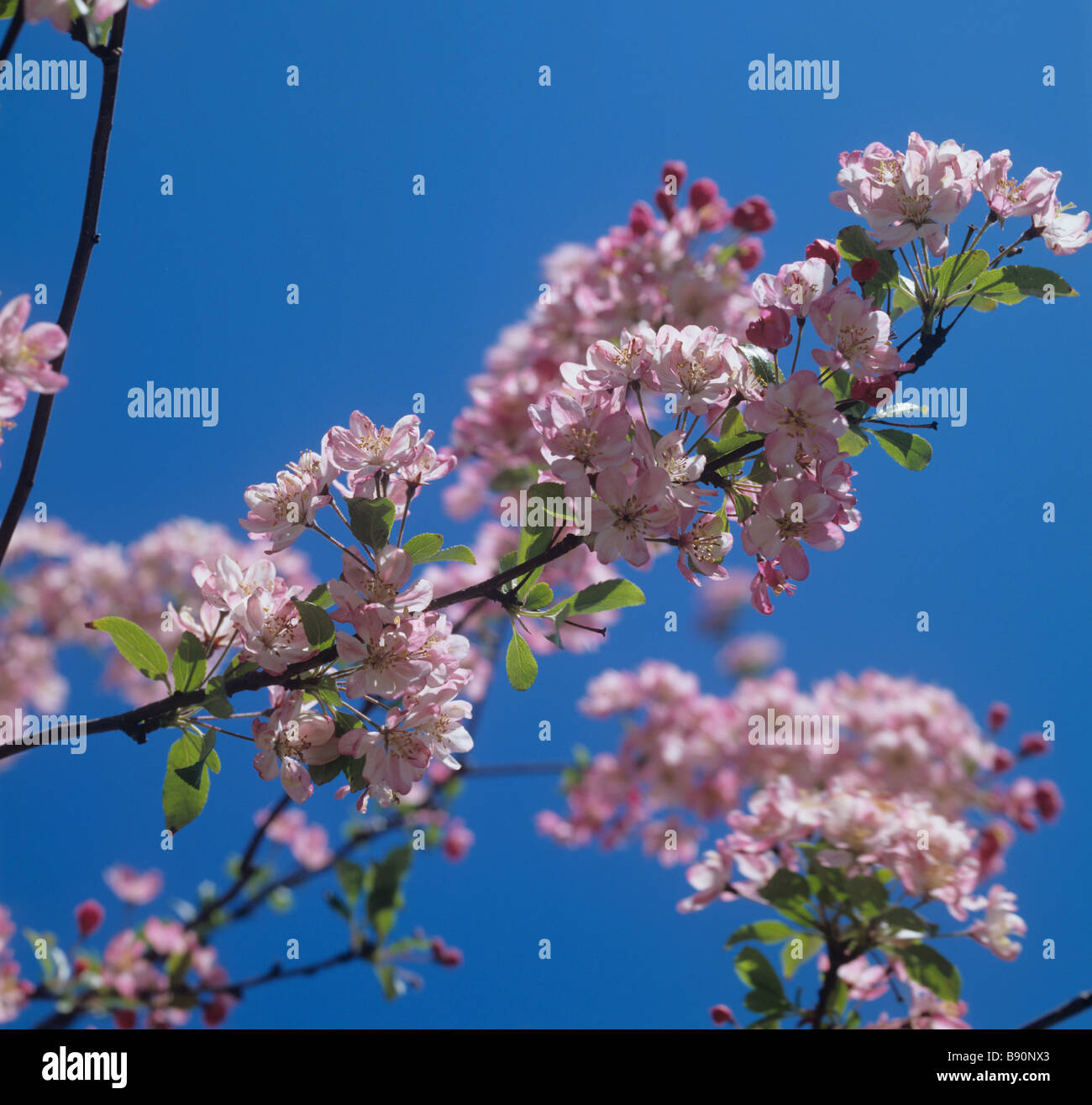 Pink flowers of an apple pollinator grafted onto the main tree Kent - Stock Image