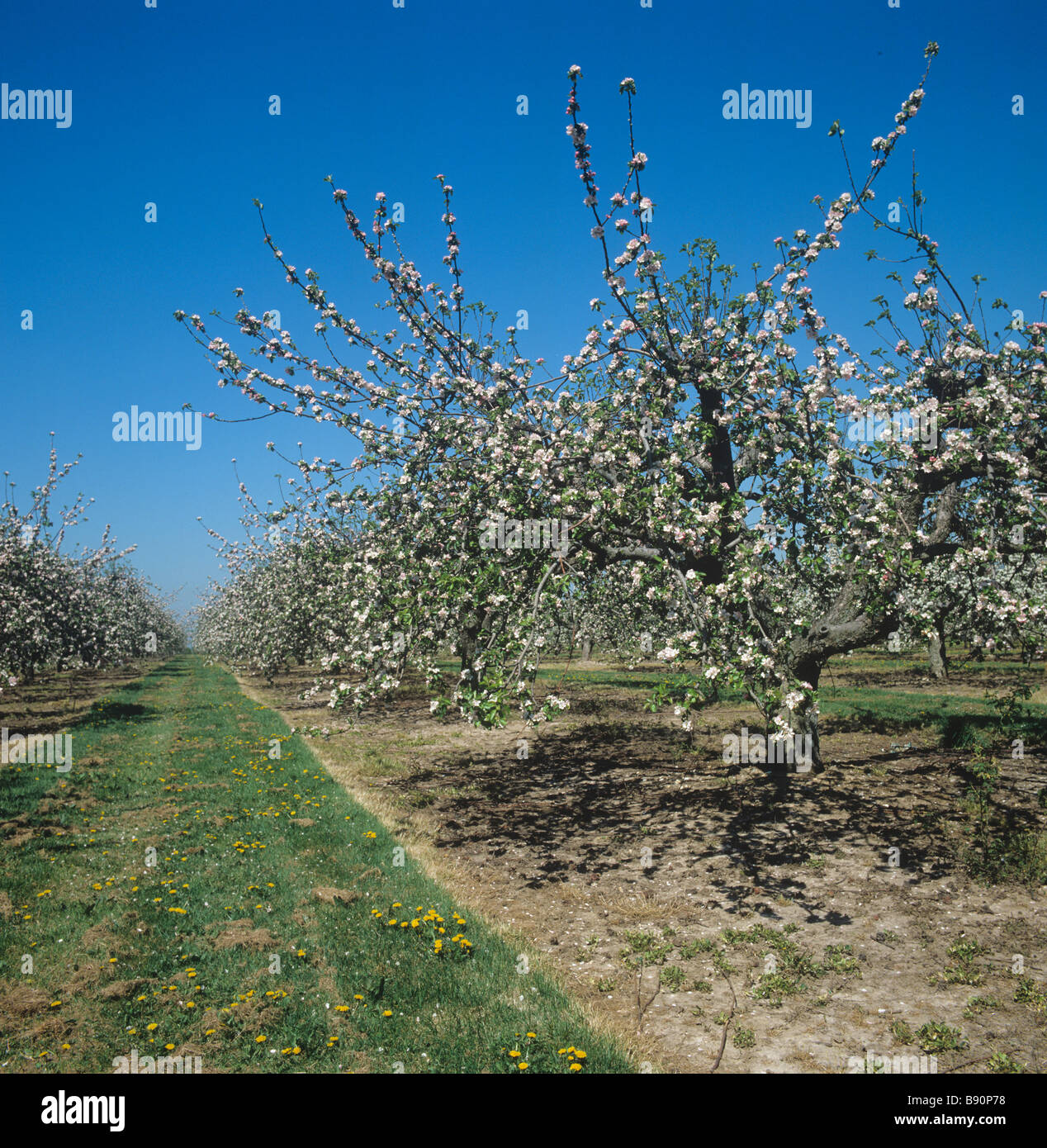 Apple orchard with mature trees in full blossom Kent - Stock Image