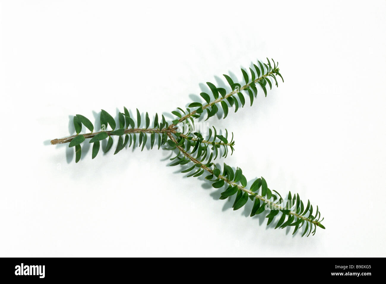 Green Flowered Mytle (Melaleuca diosmifolia), twig, studio picture - Stock Image