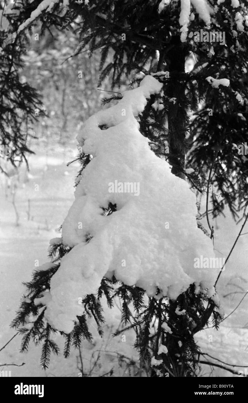 Snow on a fir resembles a rabbit - Stock Image
