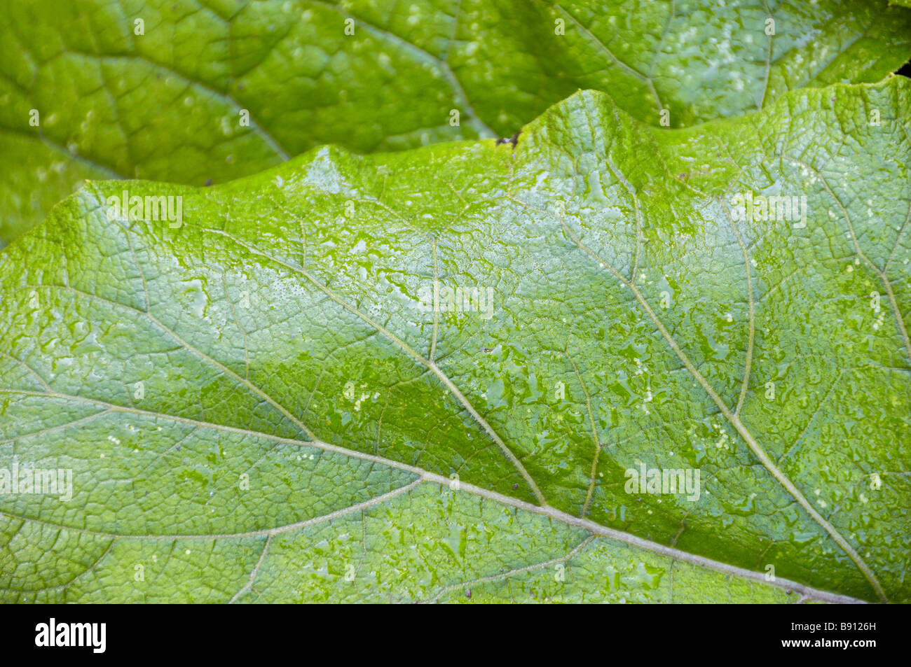 Dewdrops on green leaves - Stock Image