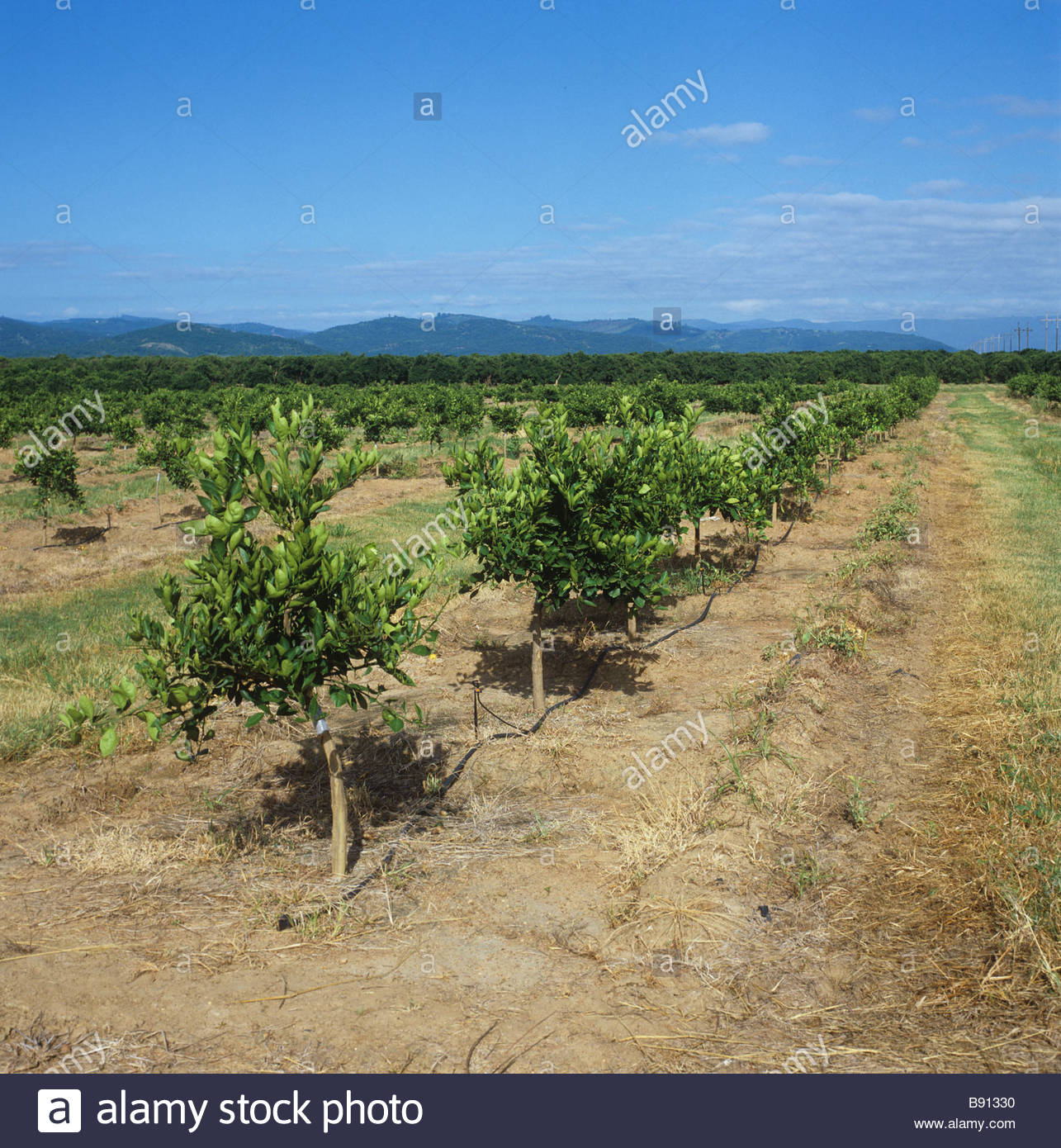 Young orange orchard on the Letaba Estates near Tzaneen Transvaal South Africa - Stock Image